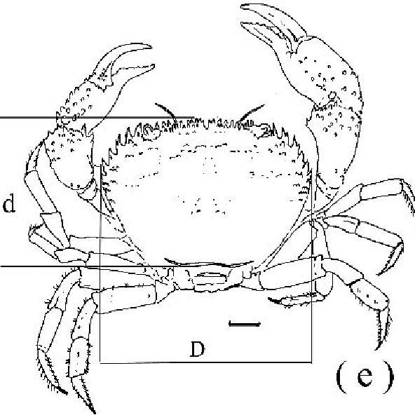 rocher eriphia verrucosa vue dorsale