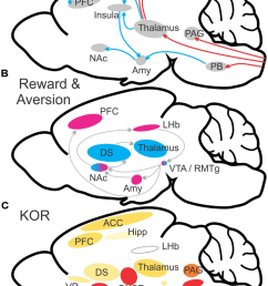 schematic illustration of major brain networks involved in pain and reward processes a b [ 850 x 1185 Pixel ]