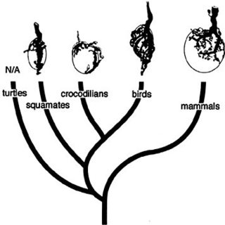 Cladogram illustrating convergent evolution of ballistic