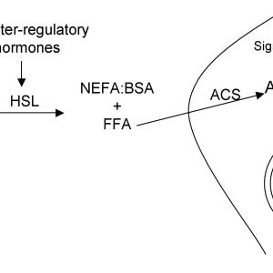 Schematic diagram of fatty acid metabolism in the fasted