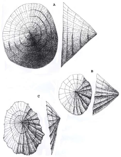 small resolution of les diff rentes esp ces de patelles a patella vulgata longueur 60 mm