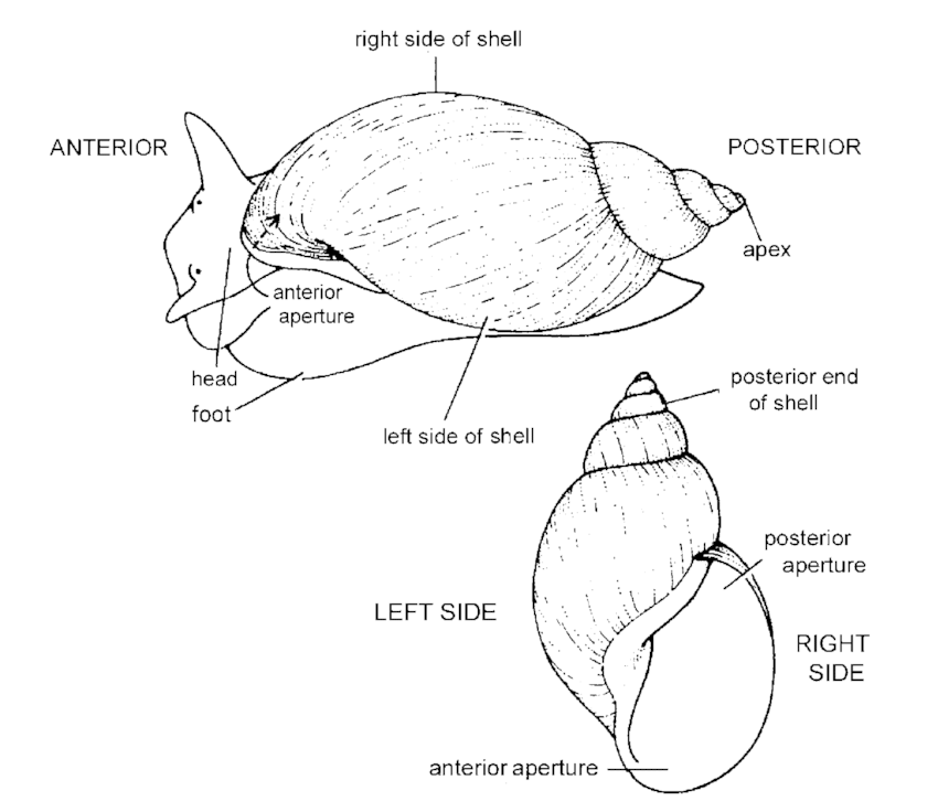 Orientation of the shell in relation to the snail