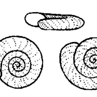 Life cycle of Schistosoma haematobium and Schistosoma