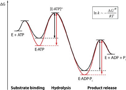 Energy diagram of a simplified ATPase reaction. The energy