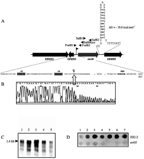 small resolution of  a schematic representation of the genetic organization of the salb chromosomal region large