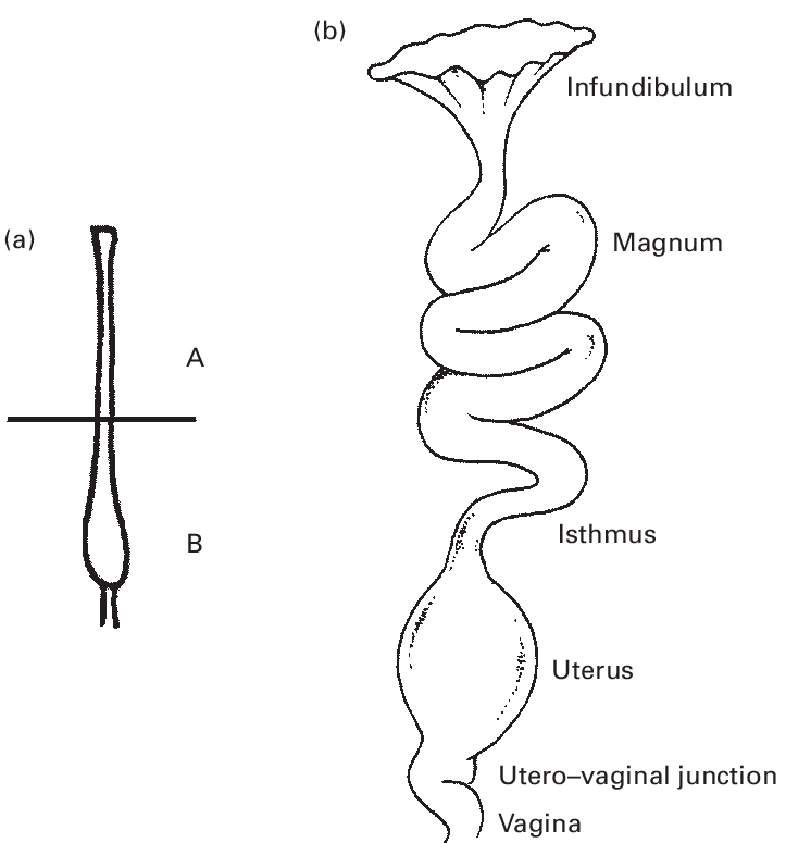 a) Schematic representation of an immature avian oviduct