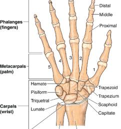 8 anatomy of the hand  [ 850 x 1054 Pixel ]