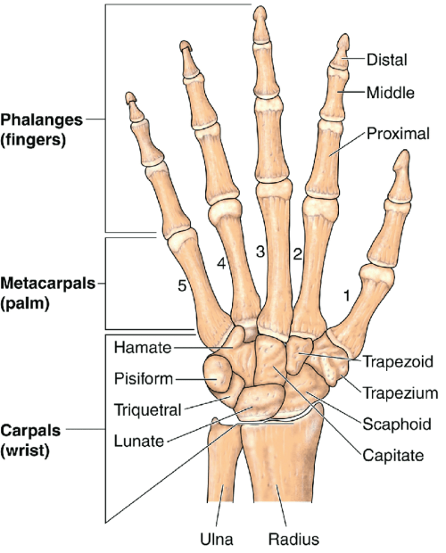 small resolution of 8 anatomy of the hand