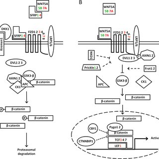 Downregulation of SFRP1 through epigenetic silencing. (A
