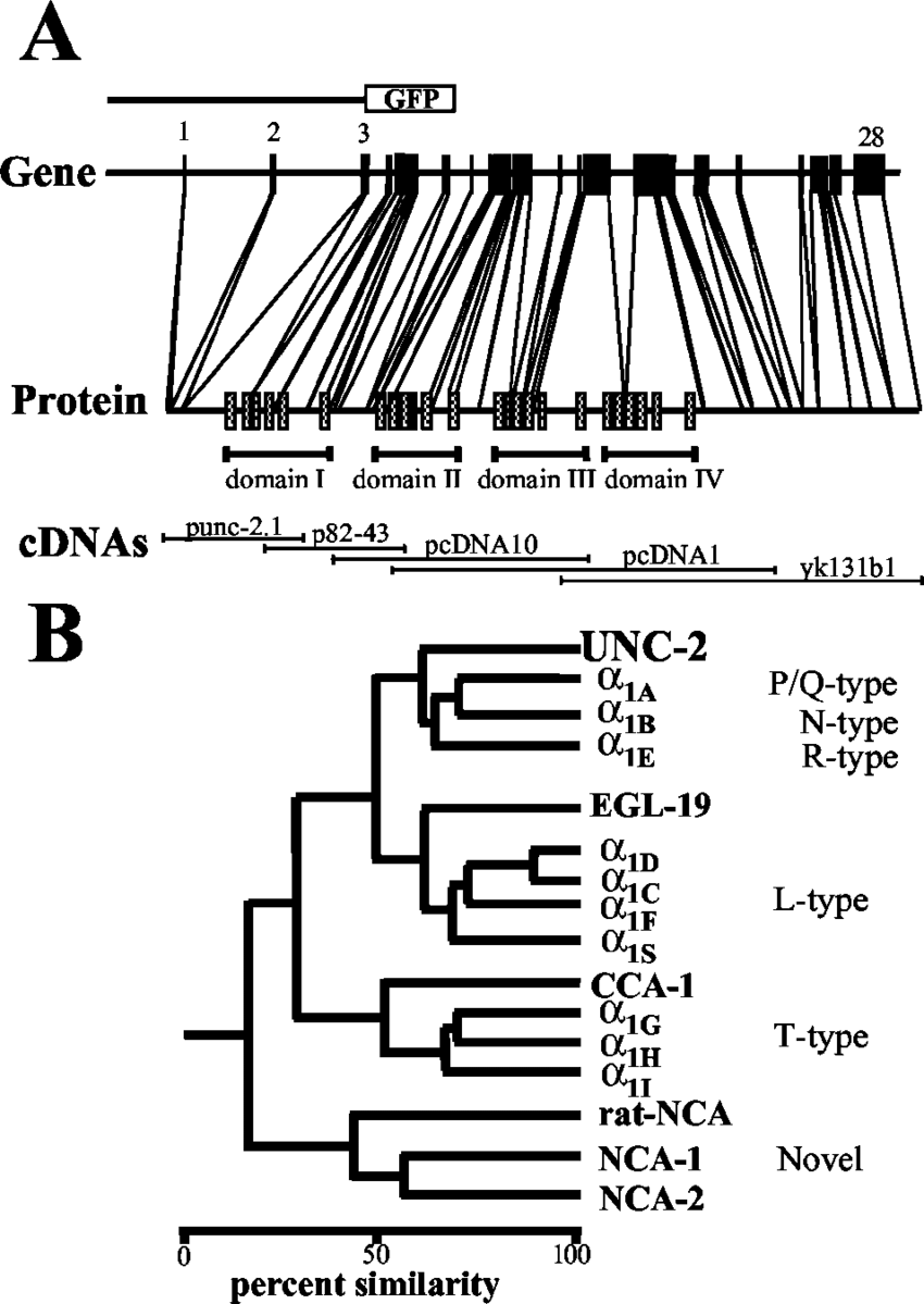unc-2 gene structure and phylogenetic comparison. A