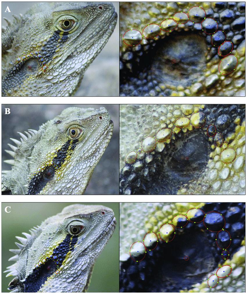 medium resolution of photo identification of lizards figure demonstrates how i3s spot download scientific diagram
