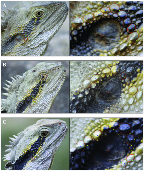 small resolution of photo identification of lizards figure demonstrates how i3s spot download scientific diagram