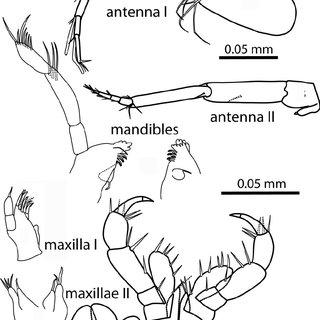 Uropods and telson of Potiberaba porakuara sp. nov. All
