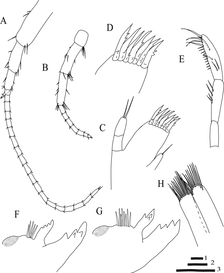 medium resolution of niphargus borisi sp nov belqais spring male 9 mm holotype a download scientific diagram