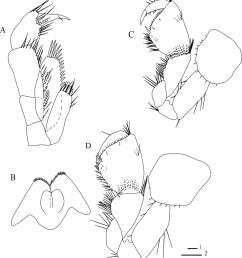 niphargus borisi sp nov belqais spring male 9 mm holotype [ 850 x 985 Pixel ]