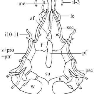 (PDF) Trichomycterus uisae: A new species of hypogean