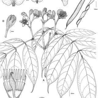 (PDF) Orphanodendron grandiflorum, una nueva especie de