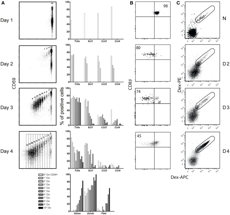 (A) Correlation between CD8 division and differentiation