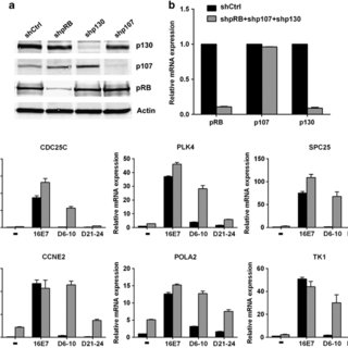 Transcriptional activation of MYBL2, FOXM1 and mitotic