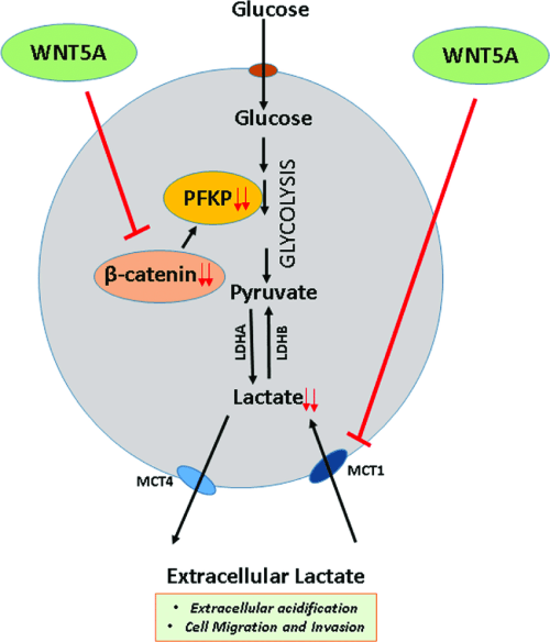 small resolution of schematic diagram of wnt5a signaling regulation of aerobic glycolysis in breast cancer cells the present
