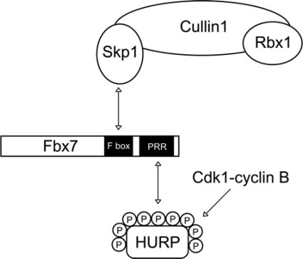 A schematic diagram represents the role of Fbx7 in the SCF