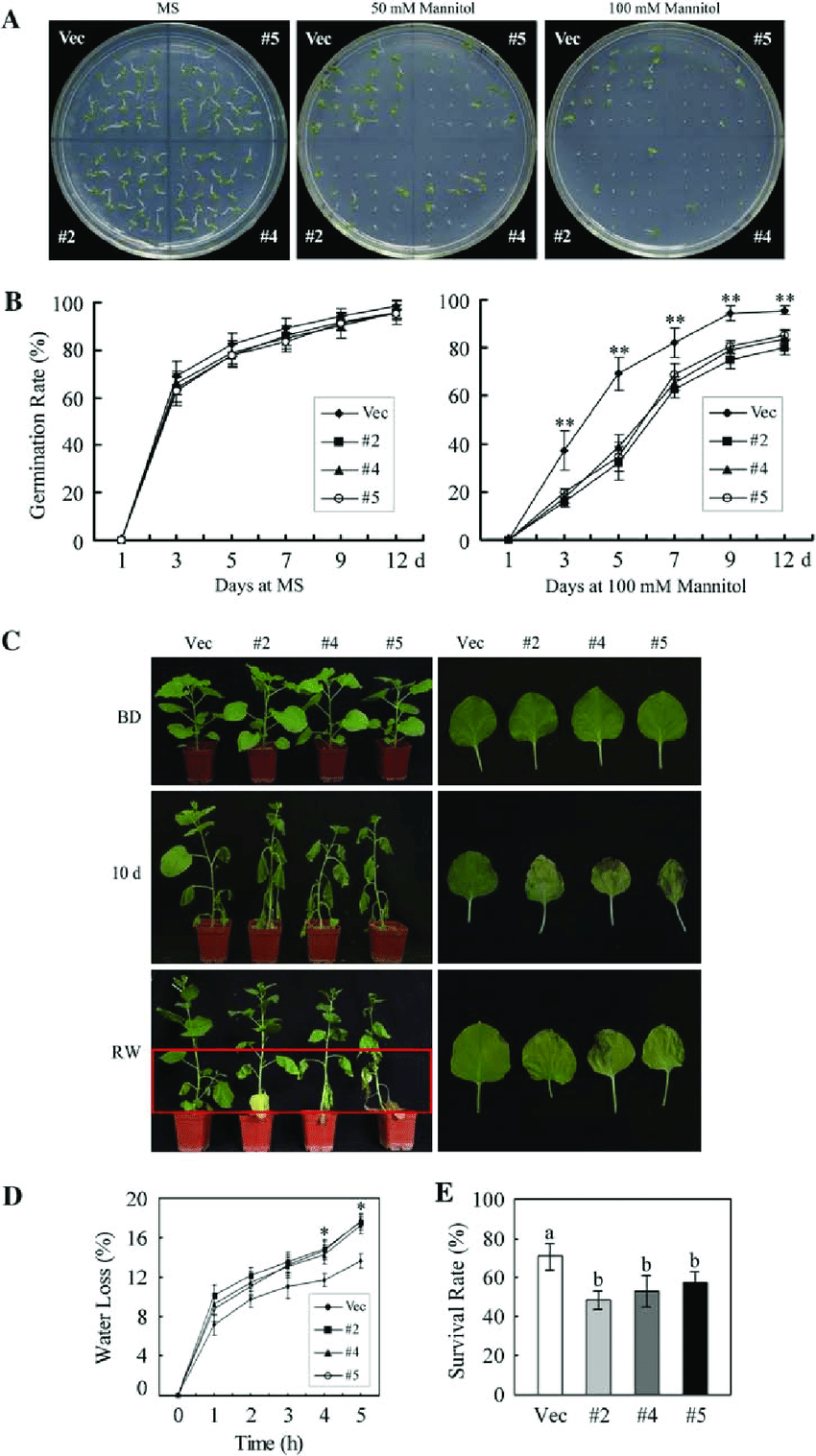 hight resolution of reduced drought tolerance in ghmkk5 overexpressing plants a seed germination on ms