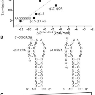 Antitermination-sensitive parts of Tϕ hairpin RNA