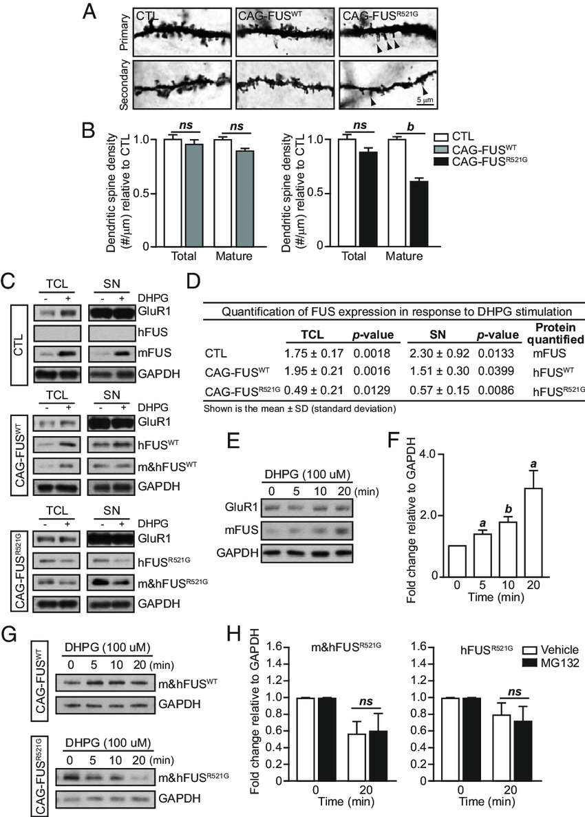 Activity-dependent reduction of FUS R521G in response to