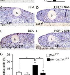 fgf10 stimulates tongue cell proliferation in organ culture a and b brdu labeling shows [ 850 x 1343 Pixel ]