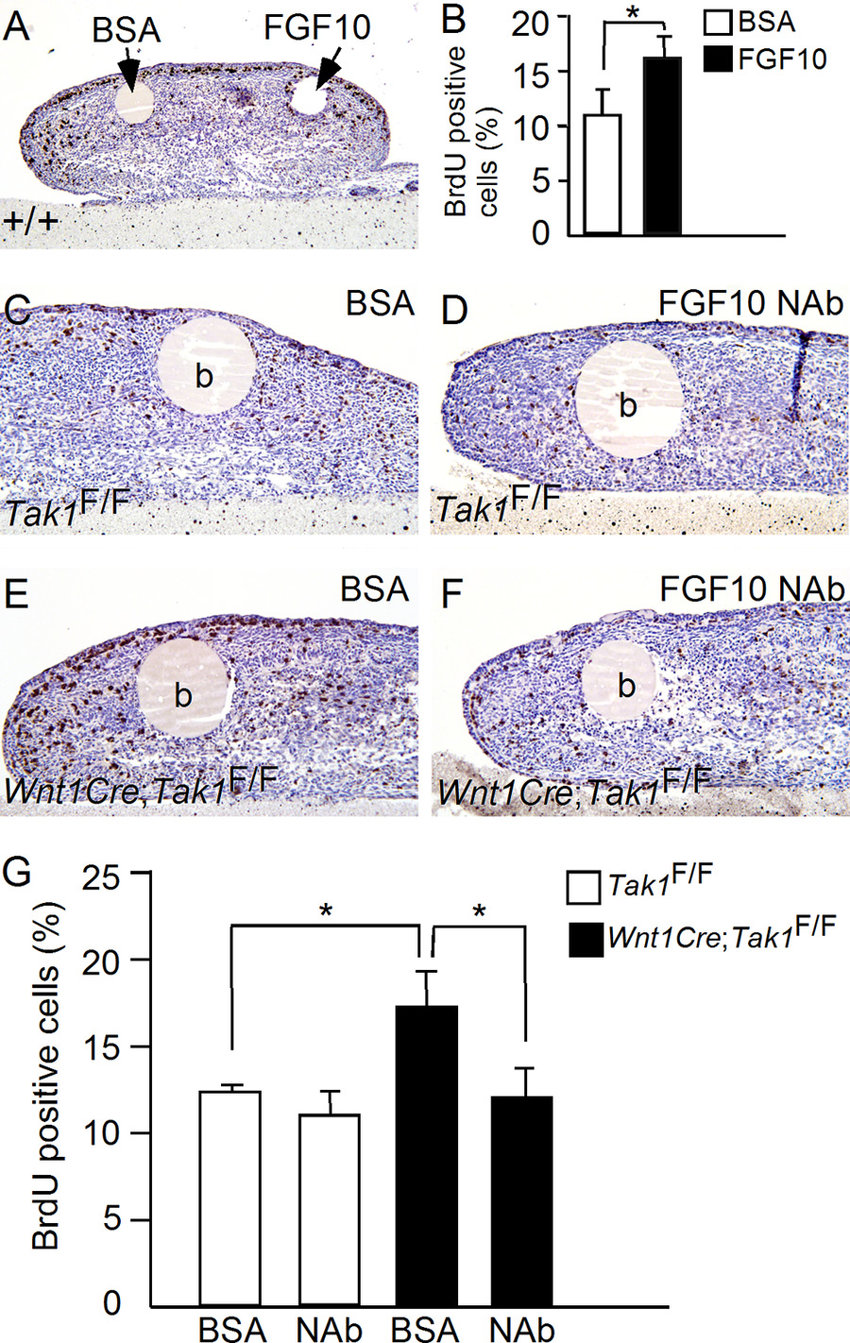 hight resolution of fgf10 stimulates tongue cell proliferation in organ culture a and b brdu labeling shows