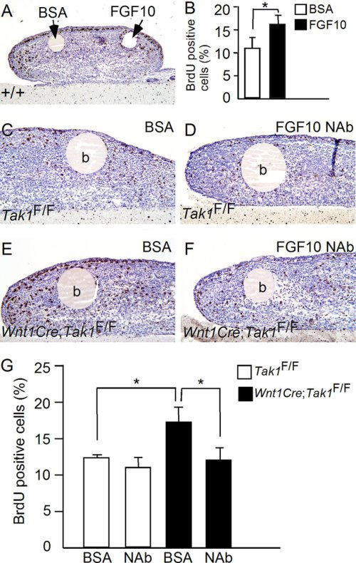 small resolution of fgf10 stimulates tongue cell proliferation in organ culture a and b brdu labeling shows