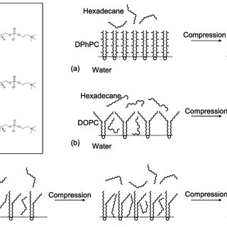Schematics showing unsaturated lipids leading to droplet