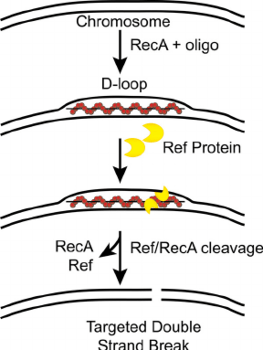 Ref cleaves DNA at multiple sites within the D-loop. A