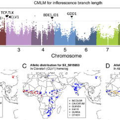 How Many Triangles Are There In This Diagram Of A Great White Shark Internal Anatomy Gwas On Fl Orescence Branch-length And Geographic Distribution Qtl... | Download Scientific ...