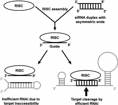 A proposed simple model for efficient RNAi. RISC assembly