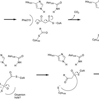 Pathway of β-oxidation in E. coli. The pathway by which