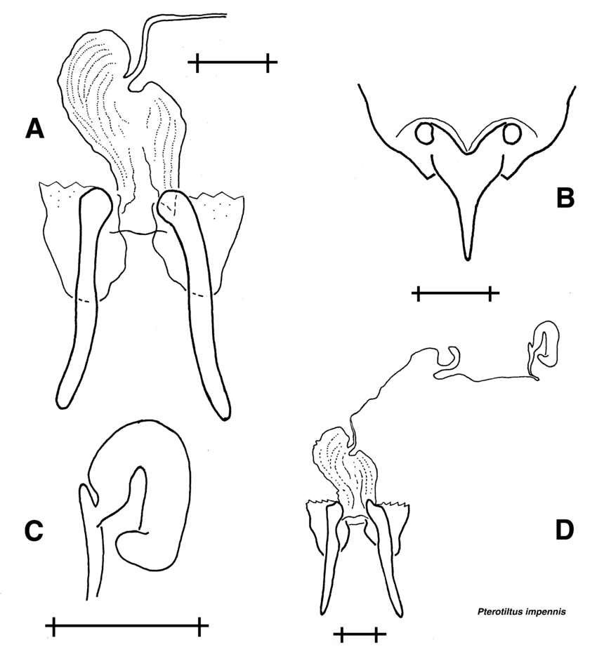 medium resolution of p impennis female reproductive structures a bursa copulatrix b subgenital