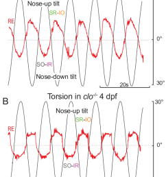 torsional eye movements in reck and cloche mutants a b torsional eye rotations in [ 850 x 1067 Pixel ]