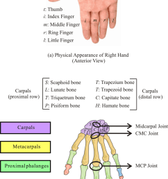 human wrist and hand a physical appearance of right hand anterior download scientific diagram [ 850 x 1406 Pixel ]
