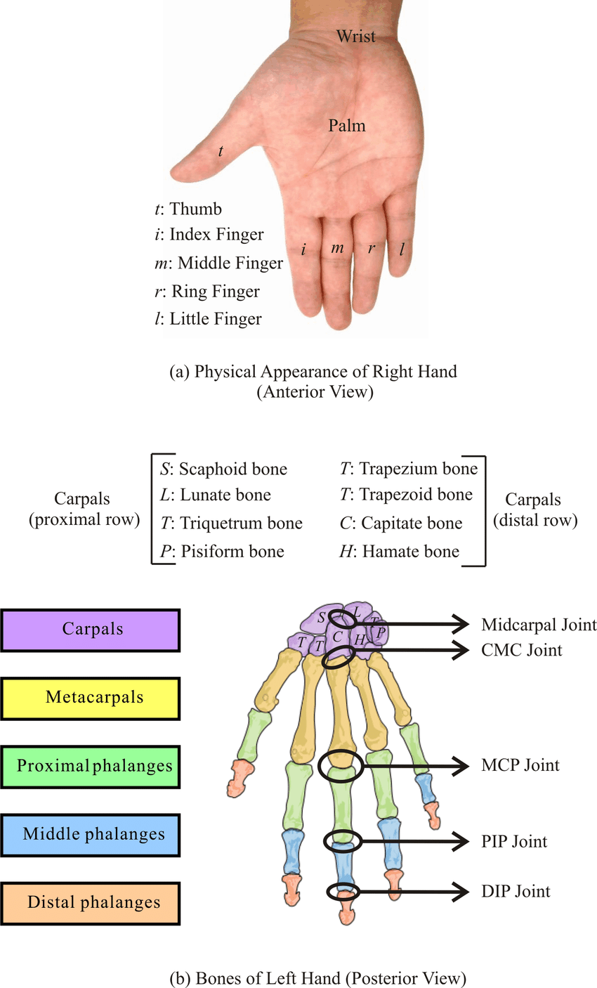 medium resolution of human wrist and hand a physical appearance of right hand anterior download scientific diagram