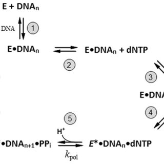 Structures of nucleotides utilized in the generations of