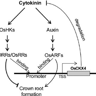 Working model for OsCKX4 function in rice crown root