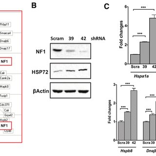 (PDF) Loss of tumor suppressor NF1 activates HSF1 to