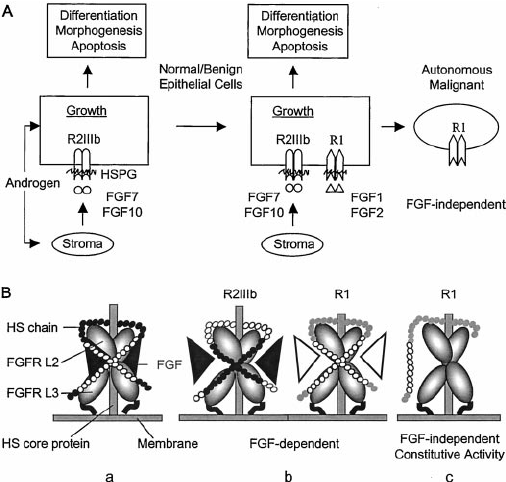 The role of the FGF family and pericellular matrix HSPG in