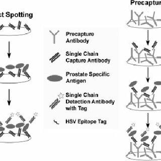 (PDF) Immobilization strategies for single-chain antibody