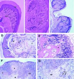 development of proliferative lesions in foot pads a g histologic cross  [ 850 x 986 Pixel ]
