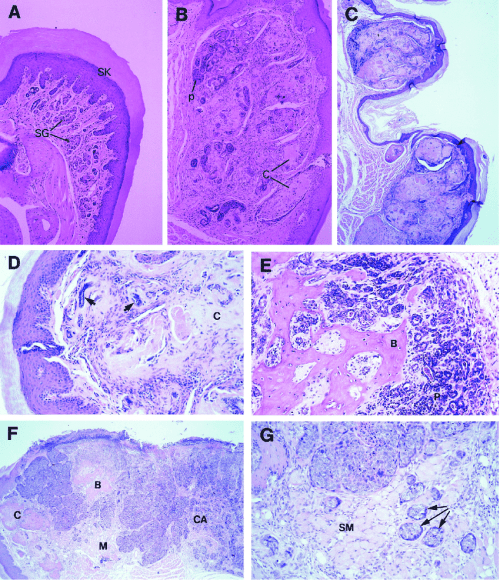 small resolution of development of proliferative lesions in foot pads a g histologic cross