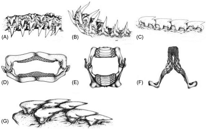 3. Representative tooth types in elasmobranchs. (A