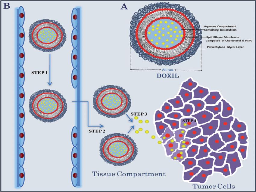 (A) Chemical structure of a Doxil liposome. (B) Schematic diagram... | Download Scientific Diagram