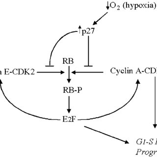 A schematic of our proposed mechanism of cell cycle arrest